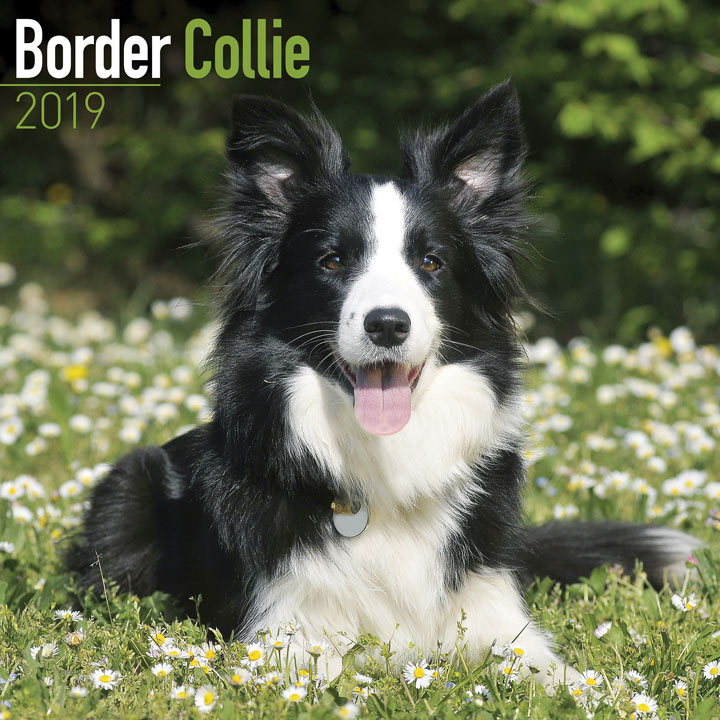 Dog Breed 2018 Calendar - Border Collie