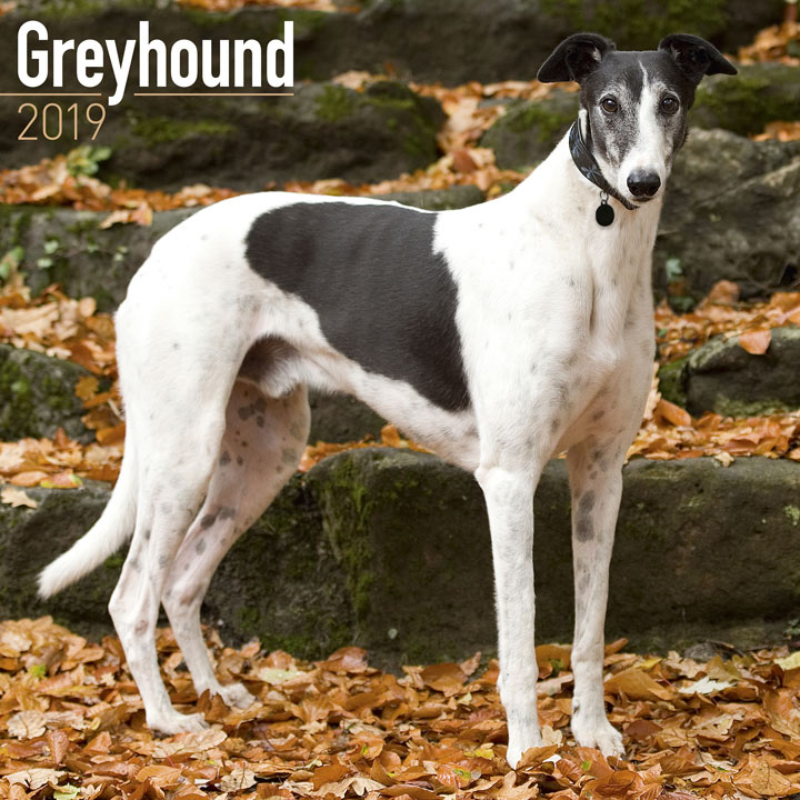 Dog Breed 2019 Calendar - Greyhound