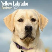 Dog Breed Calendar - Yellow Labrador Retriever