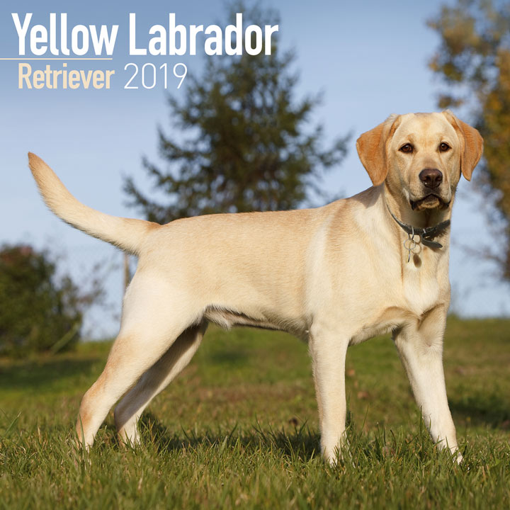 Dog Breed 2018 Calendar - Yellow Labrador Retriever