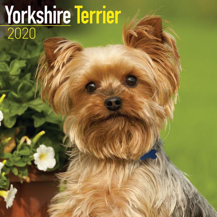 Dog Breed  Calendar - Yorkshire Terrier