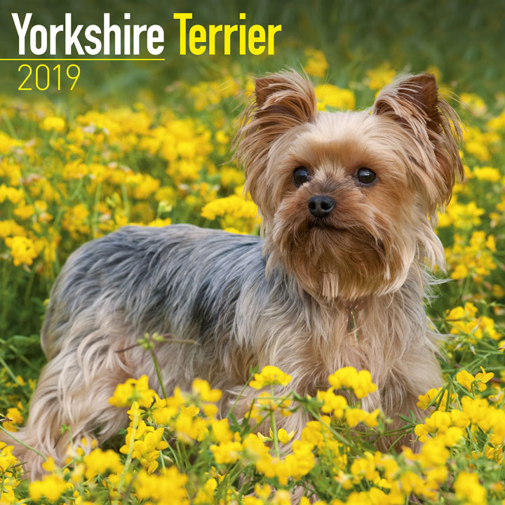 Dog Breed 2019 Calendar - Yorkshire Terrier