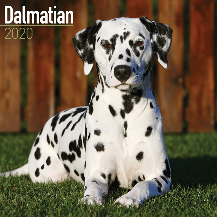 Dog Breed Calendar - Dalmation