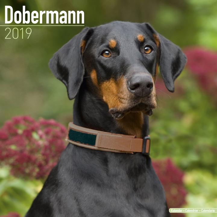 Dog Breed 2019 Calendar - Dobermann