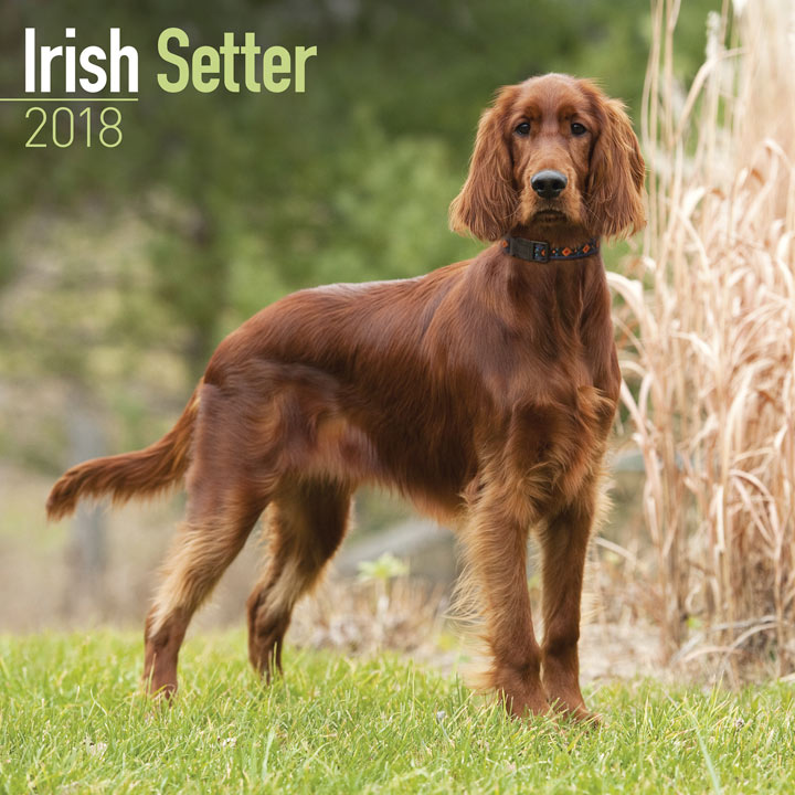 Dog Breed 2018 Calendar - Irish Setter