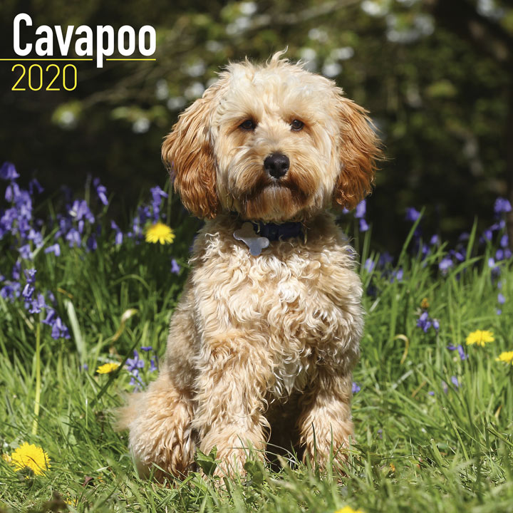 Dog Breed Calendar 2020 - Cavapoo