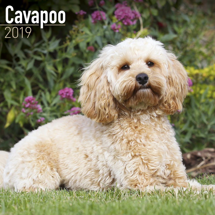 Dog Breed Calendar 2019 - Cavapoo