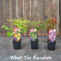 Acer Palmatum Plants - Collection