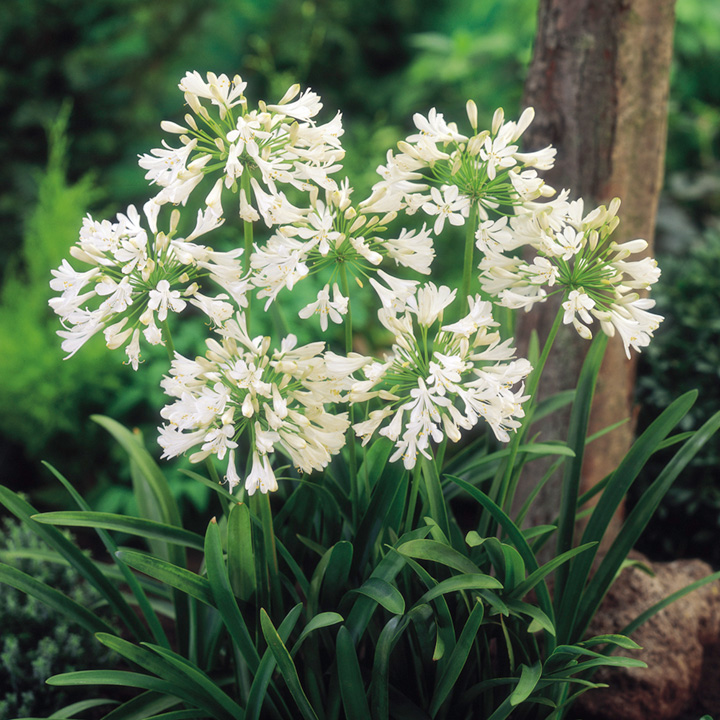 Agapanthus White (Lily of the Nile)