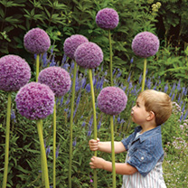 Allium Bulbs - Ornamental Onion