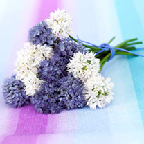 Allium Bulbs - Blue & White Mix