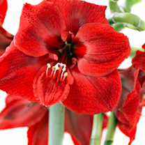 Amaryllis Bulb - Red Lion
