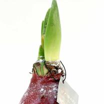 Amaryllis Wax Bulb - Red/snow coating