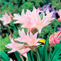 Amarcrinum Bulbs - Howardii