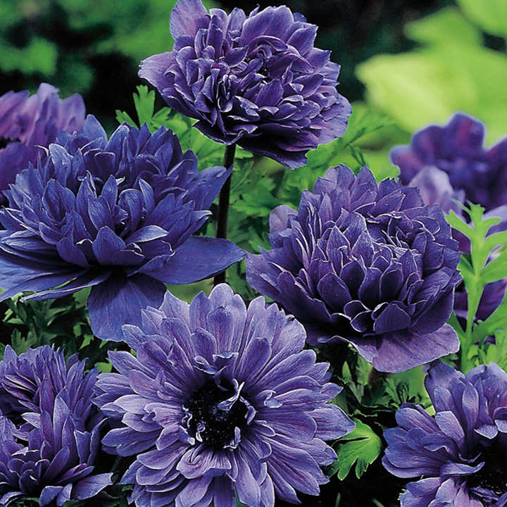 Anemone Bulbs - Lord Lieutenant