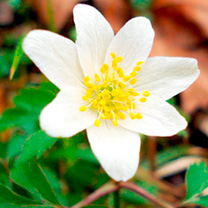 A fast-growing anemone which is ideal for naturalising under deciduous trees and shrubs, each spring producing a carpet of faintly scented white flowe