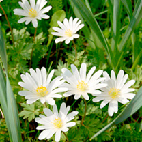 Anemone Bulbs - White Splendour