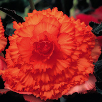 They produce compact, upright plants with extra strong stems and huge ruffled blooms (around 3-4 per plant at a time) that can reach up to 20cm (8) ac