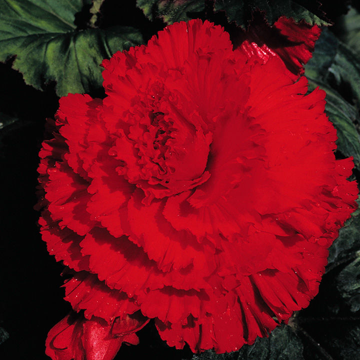 Begonia Tubers - Prima Donna Red