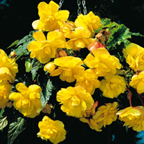Begonia Tubers - Sensation Yellow