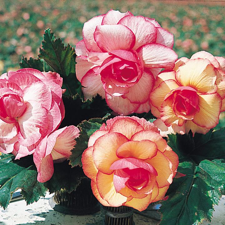 Begonia Rose Picotee