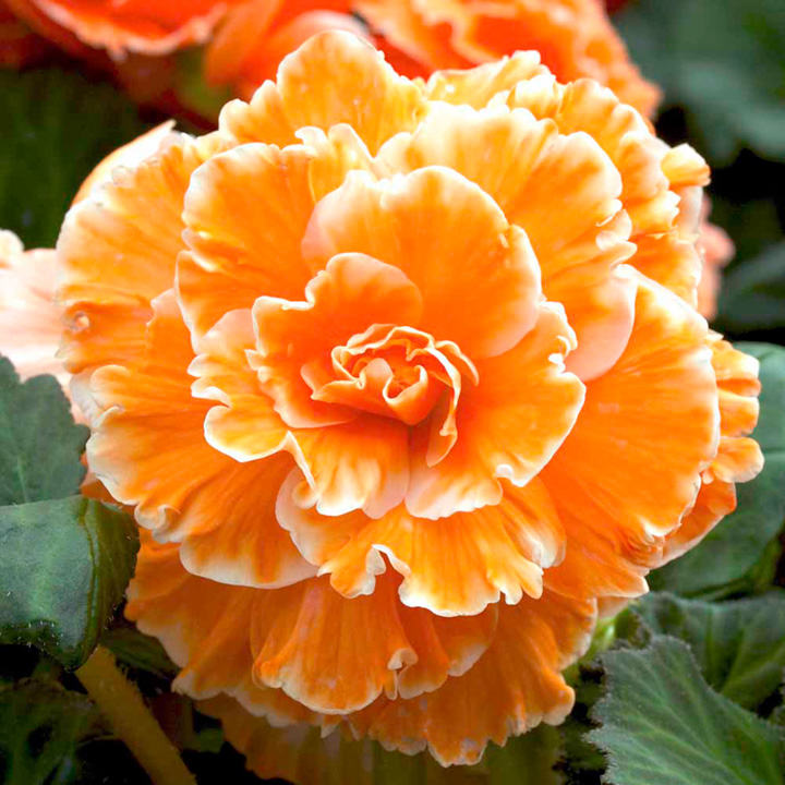 Begonia Tubers - Expresso Sugardip Apricot