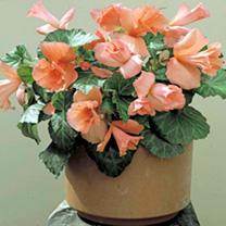 Begonia Tubers - Daffodil