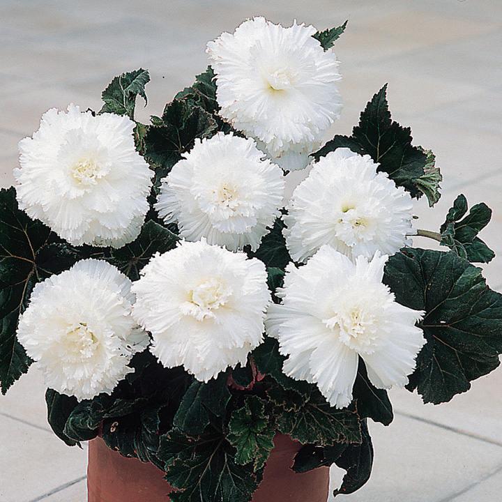 Begonia Tubers - Prima Donna White