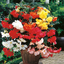 Begonia Plants - Illumination Mix