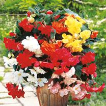 Begonia Bulbs - Mix
