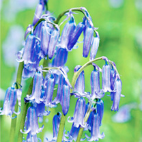 Bluebells English Bulbs - In The Green