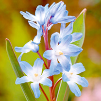 Chionodoxa Bulbs - Twin Pack
