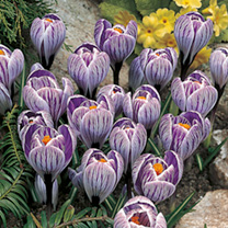 A splendid, free-flowering variety, with feathery lilac stripes. Flowers February-March. Height 10cm. Bulb size 8/9cm. (Bulb sizes quoted in centimetr