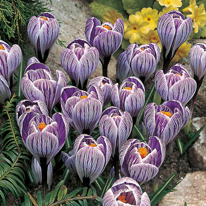 Crocus Bulbs - Pickwick