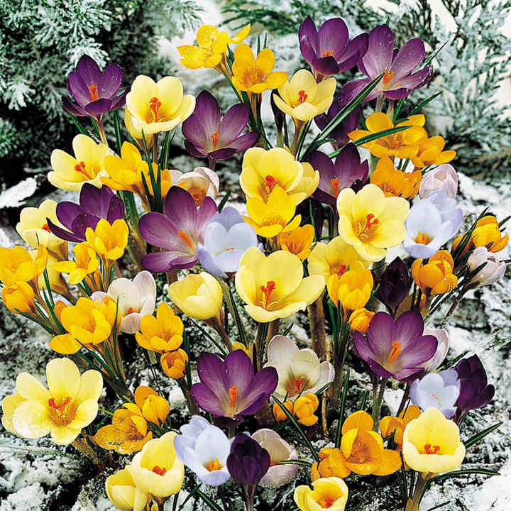 Crocus Bulbs - Mix