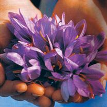 Crocus Saffron Sativus