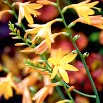 An eye-catching border perennial, producing lush green, sword-like foliage and arching spikes of freesia-like blooms. Glowing amber-yellow flowers. Fl