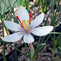 Crocus Cartwrightianus
