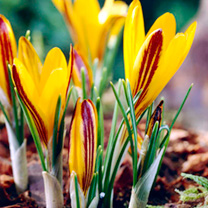 Crocus angustifolius minor Bulbs - Cloth-of-Gold