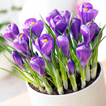 Crocus Bulbs (Indoor) - Blue