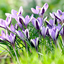 Spring Flowering Bulbs - crocus bulbs Spring beauty 221000
