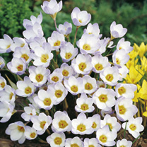 Crocus chrysanthus Bulbs - Blue Pearl
