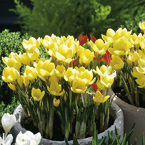 Crocus chrysanthus Bulbs - Cream Beauty