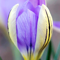 Crocus Bulbs - de Jager