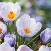 These delightful botanical crocuses will withstand the coldest weather conditions, are ideal for naturalising, and will flower year after year with li