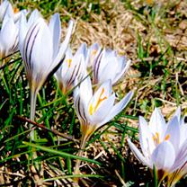 Crocus Bulbs - versicolour picturatus
