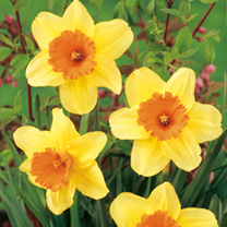 Daffodil Bulbs - Masked Light