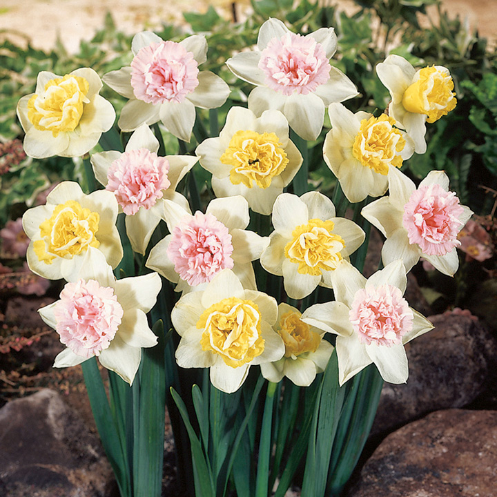 Daffodil Colour Cupfuls (18)