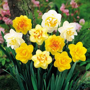 Daffodil Double Bulbs - Mix