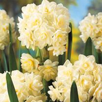 Narcissus Bulbs - Erlicheer